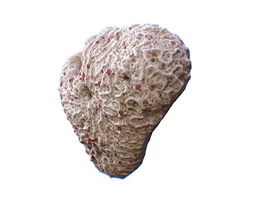 Coral 3D asset