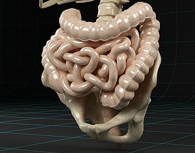 Anatomy intestine skeleton pelvis spinal column 3D model