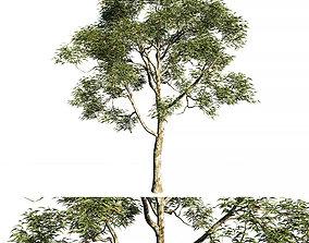 Eucalyptus saligna tree 3D model