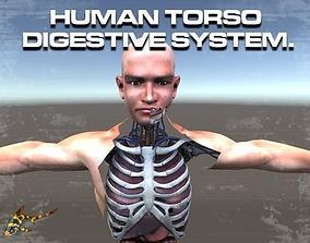 3D model Human Torso Digestive System