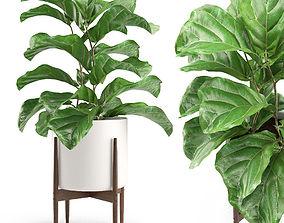 3D Plant 012 - Ficus Lyrata