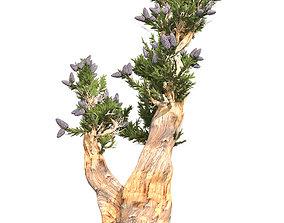 Bristle Cone Pine Tree 3D asset