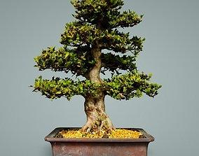 china Bonsai Tree 3D model low-poly