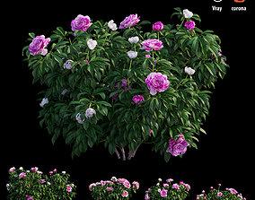 3D Peony plant 04