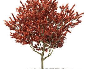 3D model Red Oak Quercus rubra L 13m