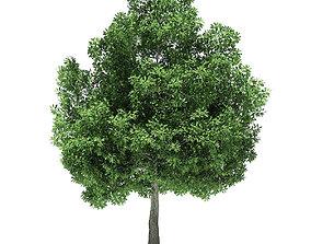 plant Champion Oak 3D Model 10m