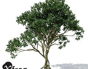 XfrogPlants Asiatic Mangrove 3D