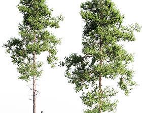 3D model Scots pine 4