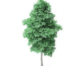 American Basswood Tree 3D Model 8m
