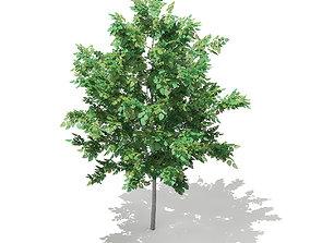 Bigtooth Aspen Populus grandidentata 3m 3D