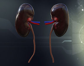 3D model Human Kidney Anatomy