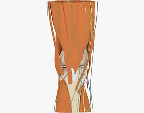 Knee Anatomy 3D model