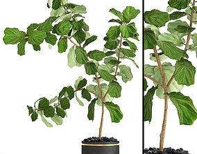 Ficus Lyrata Trees pot 3D model