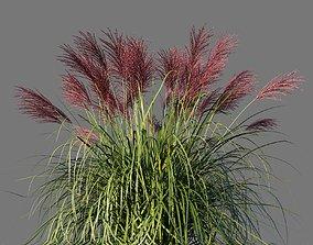 3D model Miscanthus Sinensis Rotfeder