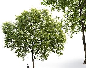 Ash-tree 01 H17m 3D