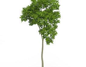 3D Common Beech Fagus sylvatica 7m