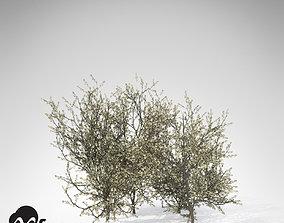 3D model XfrogPlants Blackthorn