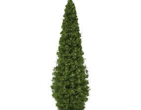 3D model White Cedar Thuja occidentalis 5m