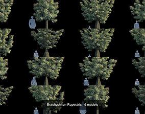 3D model Brachychiton Rupestris