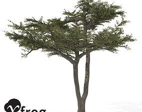 XfrogPlants Umbrella Acacia 3D model