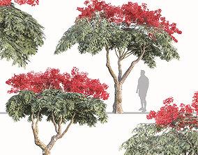 Set of Flamboyant Tree Royal poinciana - 2 Trees 3D