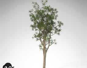 XfrogPlants Bluegum Eucalyptus 3D model