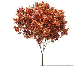 Red Maple Acer rubrum 4m 3D model
