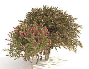 3D model Callistemon