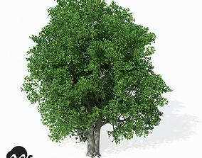 3D model XfrogPlants Cappadocian Maple