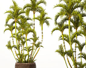 Roystonea royal palm 3D