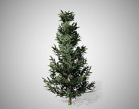 Fraser Fir Tree 3D model