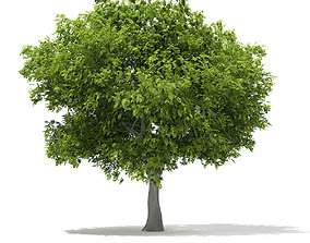 European Beech Fagus sylvatica 9m 1 3D model