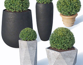 Buxus microphylla Nr1 3D model