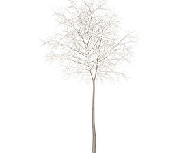 Sugar Maple with Snow 5point2m 3D