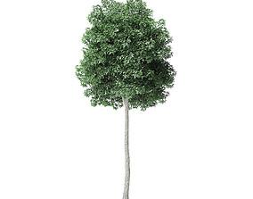 Boxelder Maple Tree 3D Model 8m
