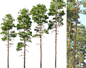 Pinus sylvestris Nr11 H17-22m Four tree set 3D