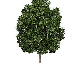 3D Common Maple 2 Acer campestre 44820