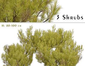 Set of Pinus Mugo or Little Gold Star Shrubs - 3 3D model
