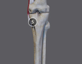 Thigh Adductors 3D model