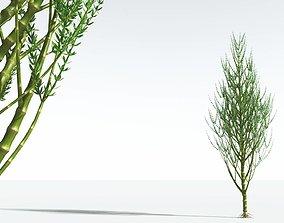3D EVERYPlant Ridged Horsetail Tree 10 --12 Models--