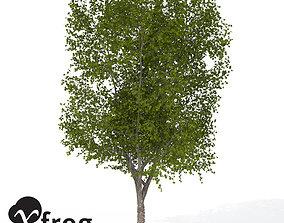 XfrogPlants American Planetree 1 3D