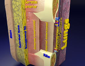 3D model Thoracic wall layers