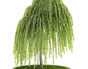 Young Willow Tree 3D model
