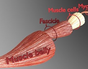 Muscle cross section 3D model