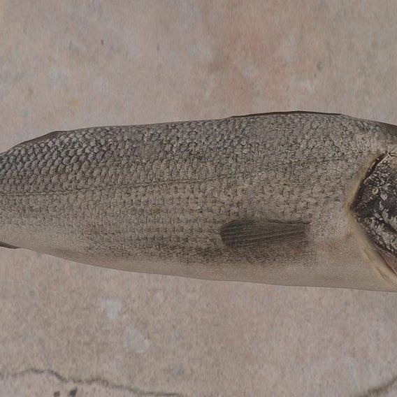 Sea bass 3D