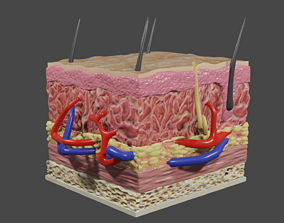 3D animated Skin cross section