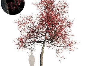 Northern Red Oak Var5 3D model