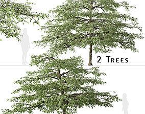 3D Set of Pagoda dogwood or Cornus alternifolia Tree - 2