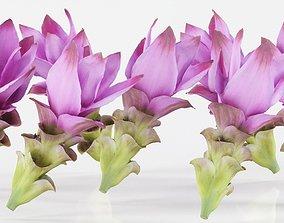 Tulip of Thailand 3D model