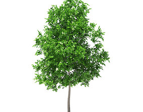 3D Sugar Maple 3point3m